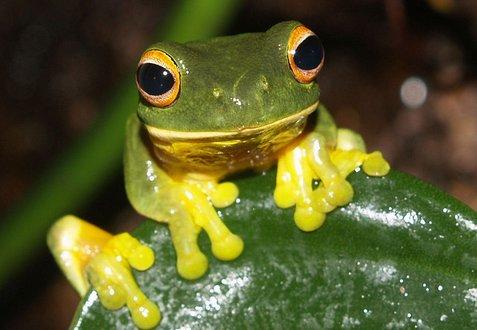 Orange-eyed green tree frog